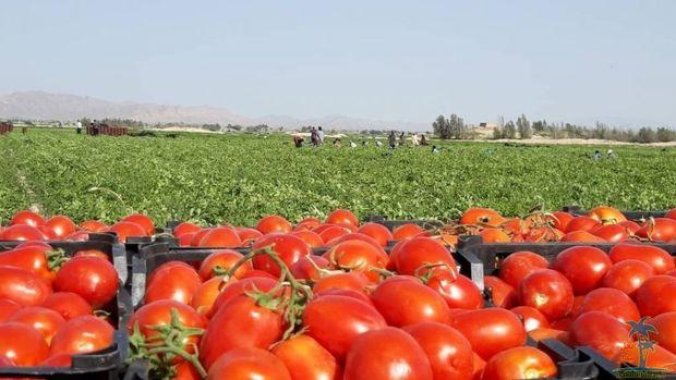 ۵۰ هزار تن گوجه فرنگی از شهرستان مهر روانه بازار شد