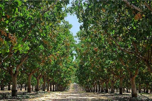 برای توسعه باغ های سه نوع میوه در زنجان یارانه پرداخت می شود