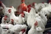 سالانه حدود ۷ هزار تن گوشت مرغ در خاش تولید میشود