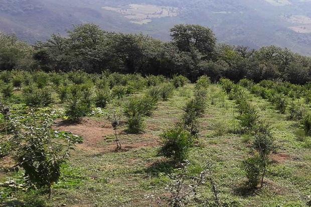 احداث باغ در 1200 هکتار از اراضی کهگیلویه و بویراحمد آغاز شد