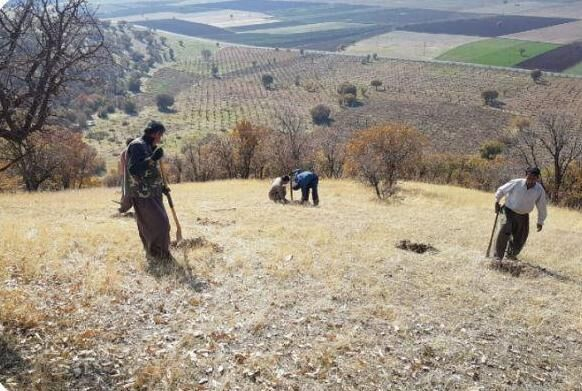 ۱۰۰ هکتار جنگل در مریوان با بذر بلوط و بادام غنی شد