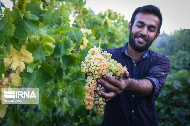 ۵۶ هزار تن انگور در جوین تولید شد