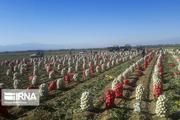 ۴۵ تن پیاز به نرخ عادلانه در بازار استان سمنان در حال عرضه است