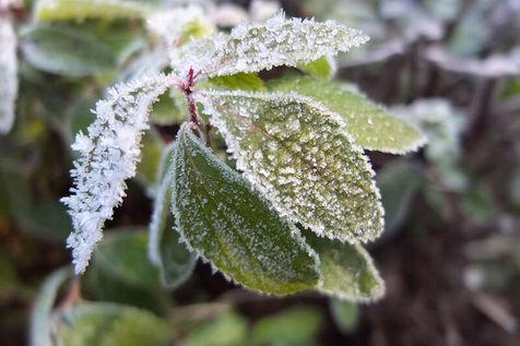 خسارتی که سرما به محصولات کشاورزی دزفول زد