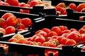 آغاز برداشت گوجه فرنگی در پارس آباد