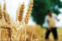 بیش از 40 درصد مطالبات گندمکاران استان سمنان پرداخت شد