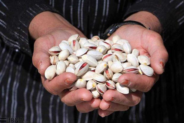 ۲۲ هزار تن پسته از باغهای رفسنجان برداشت شد