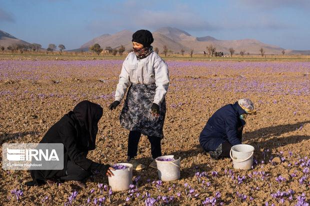 ۱۲ تن پیاز مرغوب زعفران در بافق توزیع شد