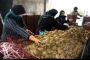 فعالیت مراکز بستهبندی محصولات کشاورزی در آستارا محدود میشود