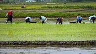 کشت برنج در 700 هکتار از مزارع قصرقند