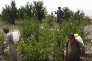 ملخها نیمی از محصولات کشاورزان کراچی پاکستان را از بین بردند