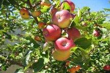 برداشت سیب پاییزه ازباغات بروجرد آغازشد