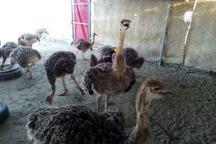 مزرعه پرورش شتر مرغ در قلعه گنج راه اندازی شد