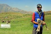 طرح مطالعاتی استفاده از شیر گاو در تغذیه برهها در استان مرکزی اجرا شد