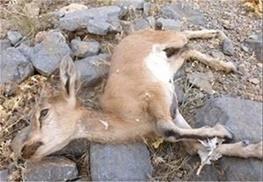 بیماری طاعون نشخوارکنندگان کوچک در بین حیوانات اهلی در طالقان کنترل شد