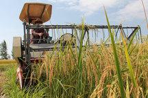 برداشت برنج از سطح شالیزارهای شوشتر آغاز شد