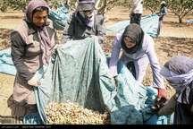 وزارت جهاد کشاورزی مشکلات پسته کاران مه ولات را بررسی می کند