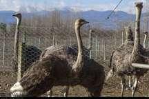 سالانه بیش از 3500 جوجه شتر مرغ در رضوانشهر تولید می شود