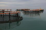 توان تولید ماهی در قفس کشور به ۱۴ هزار تن رسید