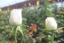 سالانه 1.5 میلیون شاخه گل رز در مهریز تولید می شود