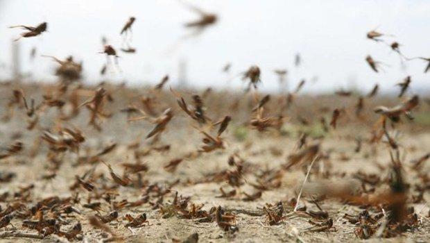 ردیابی ملخ صحرایی در 2 میلیون هکتار از اراضی کشاورزی هرمزگان