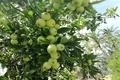 6 هزار تن سیب گلاب در سمیرم برداشت می شود