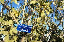 درآمد هزار اصله درخت پسته در مهریز صرف زکات میشود