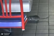 جنجال خورده شدن جنازه های اهدایی توسط موش ها!