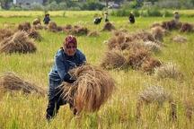 برداشت برنج در سطح 120 هکتار از شالیزارهای آبدانان آغاز شد