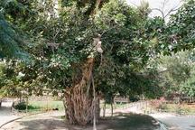 شناسایی درخت لور ۳۰۰ ساله در تنبانو میناب