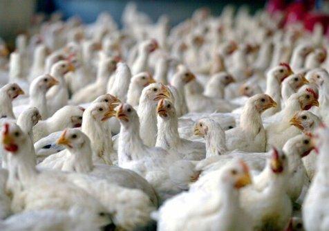 خطر خوردن گوشت مرغ هایی که خودخوری کرده اند؟