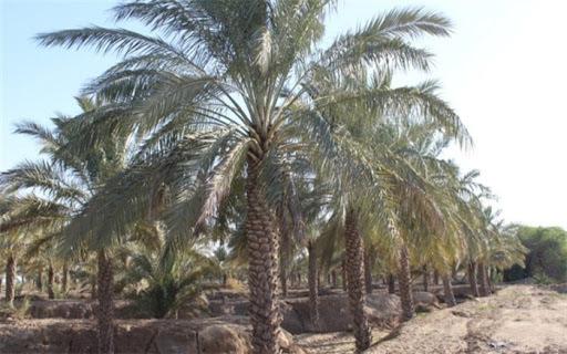 قصه پر غصه کسادی بازار خرما بوشهر