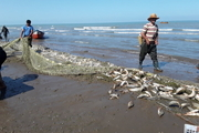 افزایش ۴۰درصدی صید ماهیان استخوانی در مازندران