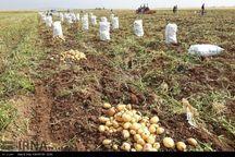 برداشت ۷۲ هزار تن سیب زمینی از زمینهای کشاورزی سلطانیه