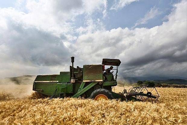 پیش بینی تولید گندم در کردستان 1.2 میلیون تن است