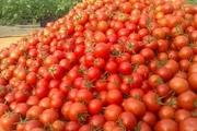 کاهش 4 هزار تومانی قیمت گوجه فرنگی