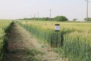 سن زدگی در مزارع گندم استان تهران به صفر رسیده است