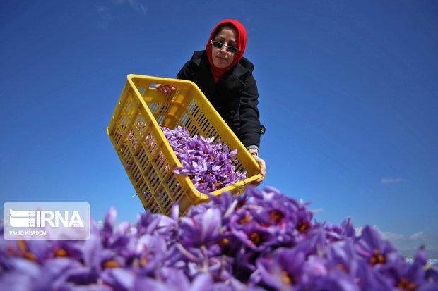 نارضایتی کشاورزان از کاهش قیمت در قطب تولید زعفران خراسان شمالی