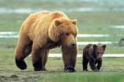 ثبت تصاویر ۲ قلاده خرس قهوهای در ارتفاعات ملکشاهی