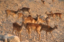 سرشماری حیات وحش در آذربایجان غربی آغاز شد