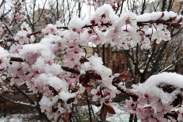 جهاد کشاورزی استان اردبیل نسبت به سرمازدگی باغات هشدار داد