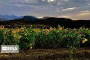 افزایش ۲۰ درصدی تولید کدو و آفتابگردان آجیلی در خوی