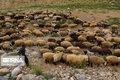 گرگ ۲۰ راس گوسفند را در ایذه درید
