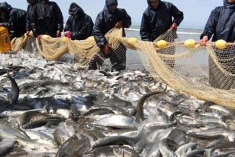 صید هزار تن انواع ماهیان استخوانی در گیلان