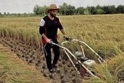 بازیکن سایپا شالیکاری و کشاورزی می کند+ عکس