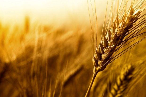 خرید تضمینی بیش از 21 هزار تن گندم در خراسان رضوی
