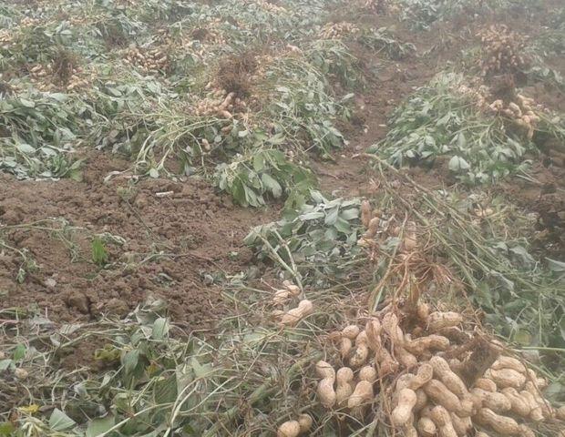رکورد تولید بادام زمینی توسط کشاورزان پارسآبادی شکست