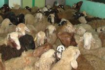 سارق 30 راس گوسفند در آزادشهر به دام افتاد