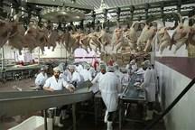 بیش از 4 میلیون قطعه مرغ در خراسان شمالی کشتار شد