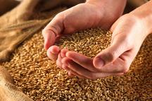 100 هزار تن گندم امسال از گندم کاران مرکزی خریداری می شود